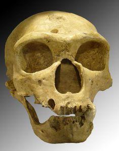 """Homo sapiens neanderthalensis"" by Luna04 - Own work. Licensed under Creative Commons Attribution 2.5 via Wikimedia Commons - http://commons.wikimedia.org/wiki/File:Homo_sapiens_neanderthalensis.jpg#mediaviewer/File:Homo_sapiens_neanderthalensis.jpg"