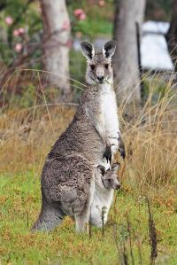 Fir0002/Flagstaffotos  Kangaroo and Joey
